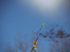 Admiration to spring (Kito K (fxkito2)) Tags: flower japan nature tokyo fineart yellow lumix olympus blooming color omd