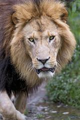 Last lion picture (Tambako the Jaguar) Tags: lion big wild cat male mane close portrait face walking coming openmouth grass looking munich münchen hellabrunn zoo germany nikon d5