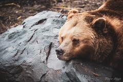 """""""Il en faut peu pour être heureux"""" (regisfiacre) Tags: parc animalier sainte croix rhodes moselle france canon 5div mark iv 4 plein format full frame 100400mm is l animal animaux ours brun brown bear"""
