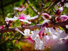 Flor de almendro. (AGONZA) Tags: ángel flores almendros naturaleza campo biniamar mallorca macrofotografía baleares