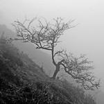Hawthorne on a misty hillside by Bill Wastell