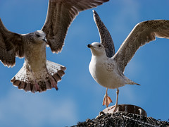Time to go ! (Shiroi_kiba) Tags: animal animallover goeland bluesky wildlife seagull bird birdlover flyingbird ontime winterlight panasonic lumixg85 dmcg80 hfsa100300 palavas herault languedoc parcdulevant