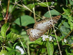 P1210752  White Peacock (birder2015 Toronto, Canada) Tags: whitepeacock butterfly mariposa lepidoptera insect holguincuba wildflower
