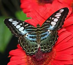 Changi Butterfly Garden Singapore (Uhlenhorst) Tags: 2015 animals tiere flowers blüten blumen blossoms pflanzen plants travel reisen singapore singapur