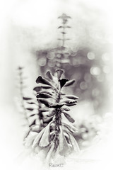 Giving that old look (Rohit KC Photography) Tags: old vintage edited whitevignette white bokeh oldlens manuallens helios 50mm canon canon5dmarkii usa funphotography amateur hobby blackandwhite bw shootingathome dark oldlook flowerpot usasacramento waterdrops droplets plant leaves strand