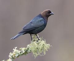 Brown-headed Cowbird (Elizabeth Wildlife) Tags: brownheaded cowbird winter birds