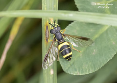 Chrysotoxum bicinctum var. tricinctum (Rondani, 1845) ♀ (Marcello Consolo) Tags: taxonomy:kingdom=animalia animalia taxonomy:phylum=arthropoda arthropoda taxonomy:subphylum=hexapoda hexapoda taxonomy:class=insecta insecta taxonomy:subclass=pterygota pterygota taxonomy:order=diptera diptera taxonomy:suborder=brachycera brachycera taxonomy:infraorder=cyclorrhapha cyclorrhapha taxonomy:zoosection=aschiza aschiza taxonomy:family=syrphidae syrphidae taxonomy:subfamily=syrphinae syrphinae taxonomy:tribe=syrphini syrphini taxonomy:genus=chrysotoxum chrysotoxum taxonomy:species=bicinctum taxonomy:binomial=chrysotoxumbicinctum taxonomy:trinomial=chrysotoxumbicinctumtricinctum chrysotoxumbicinctumtricinctum