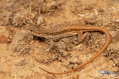 Pedioplanis lineoocellata pulchella - Common Sand Lizard (Tyrone Ping) Tags: pedioplanis lineoocellata pulchella common sand lizard reptile reptiles lizards graafreniet eastern cape camdeboo national park parks wild wildlife nature natural macro close up wwwtyronepingcoza tyroneping cute creature critter 100mmmacrof28 mt24ex south africa southern herps herping wildherps road trip