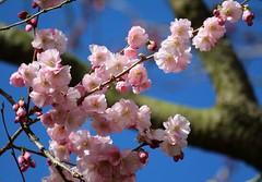 Rosa (♥ ♥ ♥ flickrsprotte♥ ♥ ♥) Tags: rosa kirsche blau frühling sonne 19märz2019 botanischergarten kiel 2019 märz blüten natur