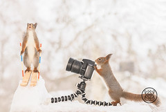 Red squirrel standing on skis another behind a camera (Geert Weggen) Tags: squirrel camera red animal backgrounds bright cheerful close color concepts conservation culinary cute damage day earth environment environmental equipment love valentine photo winter snow openmouth ski sport wintersport bispgården jämtland sweden geert weggen hardeko ragunda