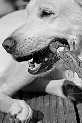 Iva (glaserei) Tags: iva hunde hund haustier labrador labi goldie retriever