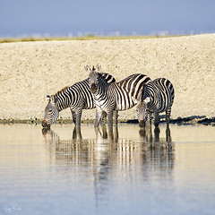 COMMON ZEBRA 1 (Nigel Bewley) Tags: commonzebra equusquagga waterhole drinking tanzania africa wildlife nature wildlifephotography nigelbewley photologo appicoftheweek lakemanyara february february2019 safari gamedrive
