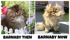 Barnaby the Persian Cat (dollfacepersiankittens.com) Tags: barnaby persian cat animals pets famous instagram funny silly cats