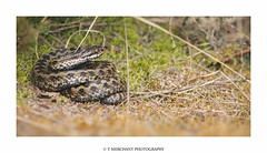Adder (tommerchant1) Tags: snake adder cannockchase wildlife nature reptile countryside britishwildlife ukwildlife