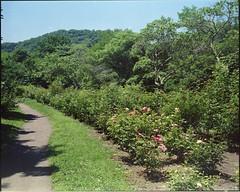 (✞bens▲n) Tags: mamiya 7ii kodak ektacolorgold 400 80mm f4 film analogue 6x7 japan karuizawa garden summer green flowers path