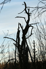 Dead Can Dance (gripspix (Easter Break 4 Family)) Tags: 20190216 schwenningermoos swamp sumpflandschaft moor tree baum dead tot