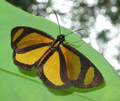 Cabirus procas (hippobosca) Tags: butterfly cabirusprocas hesperiidae peru insect lepidoptera skipper macro