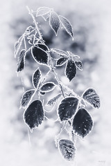 feuilles givrées (akakus55) Tags: plante givre feuilles