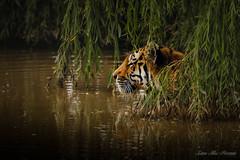 Hidden Beauty (leanne.hilless) Tags: tiger wildlife wildlifephotography animal animalportrait bigcat amurtiger yorkshirewildlifepark