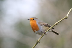 0M2A2471 Robin (kevin_livesey) Tags: robin leighton moss rspb birdwatching