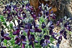 Wild Himalayan Orchid !! (Lopamudra !) Tags: lopamudra lopamudrabarman lopa flora flower orchid purple himalaya himalayas highaltitude highland garhwal uttaranchal uttarakhand uttarkhand india wilderness wild trek trekking hiking beauty beautiful kedartal kedartaal