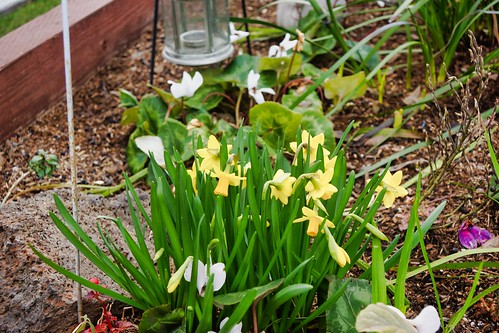 2019-02-12 - Nature Photography - Flowers - Daffodils