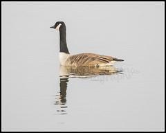 IMG_0003 Canada Goose (Scotchjohnnie) Tags: canadagoose brantacanadensis ornithology bird birdphotography birdwatching ukbirds waterbird waterfowl canon canoneos canon7dmkii canonef100400f4556lisiiusm scotchjohnnie