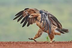 ZIM_6993 (lucvanderbiest) Tags: tawnyeagle savannearend scavengershide zimangaprivatereserve southafrica