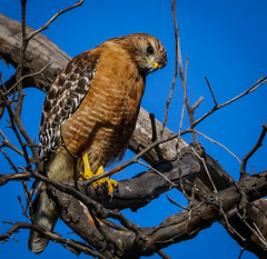 Red-shouldered Hawk     Sycamore Canyon coast of Southern California 064 (pekabo90401) Tags: redshoulderedhawk hawk happyslidersunday hss lightroom lind sycamorecanyon birdsofcoastalsoutherncalifornia birdwatching birdwatchinglosangeles southerncaliforniabirds 100400 80d canon80d canon camaraderie branchmonkey avem vogel wesen pekabo90401 friendship fugl buteolineatus busardopechirrojo buseàépaulettes reallybluesky