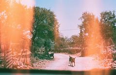 0072-0300-02 (jimbonzo079) Tags: palionnisos beach kalymnos island dodecanese 2018 land landscape aegean greece canon ae1 fd 50mm f18 lens konica minolta vx100 super expired trip travel world europe analog film mood 35mm 135 color colour art vintage old hellas ελλάσ ελλάδα summer vacation road goat animal rock olive tree light leak burn palionnisosbeach canonae1 fd50mmf18 konicaminoltavx100super konicaminolta konicaminoltavx100 konicaminoltavx lightleak car village