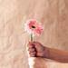 Vertical image of hands holding a pink daisy flower