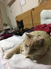 Looking Guilty at Something (sjrankin) Tags: 14march2019 edited animal cat bonkers norio tunic weeweemat bed bedroom pillow blanket kitahiroshima hokkaido japan