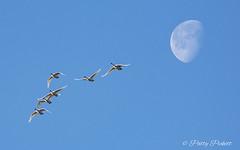 trumpeter swans (Pattys-photos) Tags: trumpeter swan moon marketlakewildlifemanagementarea idaho pattypickett4748gmailcom pattypickett