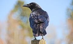 Rabenkrähe 3 (Chridage) Tags: saatkrähe krähe rook crow rabe raven vogel bird corvidae corvus rabenkrähe