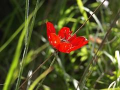 Цветок (unicorn7unicorn) Tags: цветы весенниецветы ручей ущелье нахальсиах прогулка colorfulnature spotlight