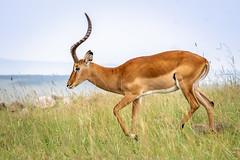 Heading Down the Slope (helenehoffman) Tags: africa aepycerosmelampus kenya conservationstatusleastconcern animal maasaimaranationalreserve mammal alittlebeauty coth coth5 fantasticnature ngc