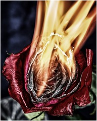 The end of the affair #2 (Aileen Lannen Mozug) Tags: flower rose fire flame burn burnt chard petals