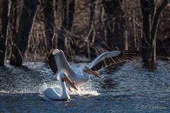 20190408-DSC_7326.jpg (GrandView Virtual, LLC - Bill Pohlmann) Tags: bird americanwhitepelican wisconsin wildlife waterfowl stcroixriver northhudsonwi