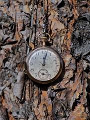 12:02 (timvandenhoek1) Tags: birchtree goldwatch antiquewatch sonyilce6000 focuspeaking focal135mmf28mcmount 1202pm missouri midwest snapseed timvandenhoek