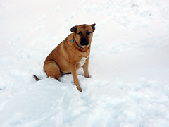 Bella the snow dog (simonov) Tags: bella dog hund chien 狗 σκύλοσ madra cane 犬 perro 개 سگ собака الكلب germansheprador skytavern reno mountains snow winter christmas