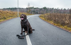 Line (jurgita_zuk) Tags: dog labrador retriver line pathway park outdoor outdoors sweden sverige gothenburg göteborg