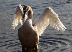 Ob ich schon fliegen kann ? (♥ ♥ ♥ flickrsprotte♥ ♥ ♥) Tags: ostsee kiel wasser strand schwan kind flickrsprotte