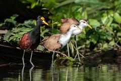Northern Jacana with the Kids (Kitty Kono) Tags: costaricabirds northernjacana kittyrileykono babies