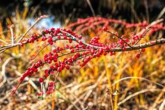 Red Berries (Bephep2010) Tags: 2018 7markiii alpha au auzh beere gras herbst ilce7m3 sel1635z schweiz sony switzerland zurich zürich autumn berry fall gelb grass red rot yellow ⍺7iii kantonzürich ch