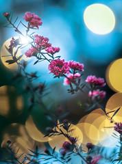 Tea tree at cafe (Tomo M) Tags: ギョリュウバイ manuka leptospermumscoparium plant flower light bokeh blur winter tokyo cafe park hellios