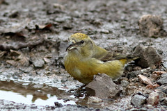 Female Crossbill (Georgiegirl2015) Tags: crossbill common birds dellalackwildlifephotography avian forestofdean gloucestershire parkend water wildlife winter puddle spruce canon countryside woodlands january2019 ef300mm 7dmkii
