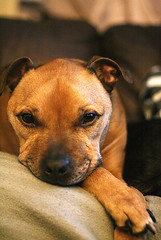 Chester. Staffy cross (jamesdavidboro2) Tags: pentax f17 17 50mm 1750 dogs pets canon eos 400d animals pk mount manual focus httpswwwflickrcomgroupsclickclickbangbang
