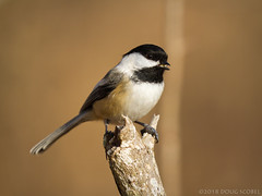 Chipper Chickadee (Doug Scobel) Tags: blackcapped chickadee poecile atricapillus kensington metropark wild bird nature outdoors wildlife michigan