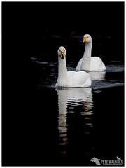 Whooper Swan (Pete Walkden) Tags: brandonmarsh whooper swan warwickshire