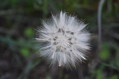Pompón blanco (esta_ahi) Tags: lasaulonera flora plantas silvestres vilanos compositae asteraceae olèrdola penedès barcelona spain españa испания